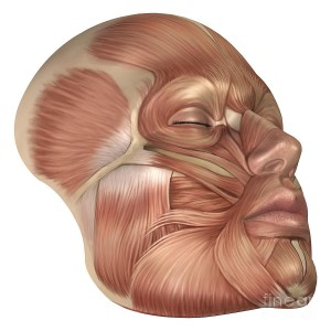 anatomy-of-human-face-muscles-stocktrek-images